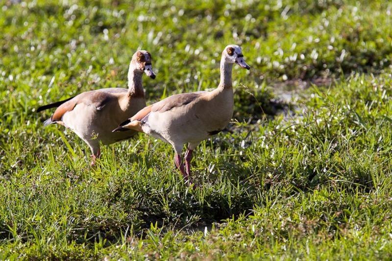 eygyptian goose, amboseli, kenya, 2009