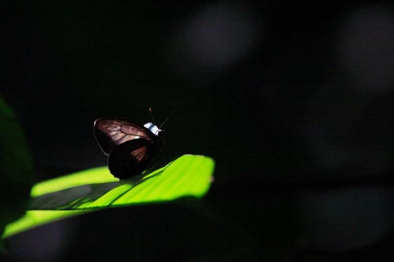 butterfly, borneo, 2007