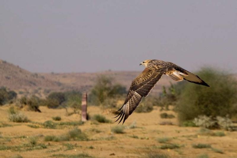 eagle flying, jaisalmer, 2010