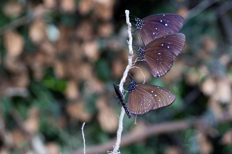 butterflies, arunachal, 2010