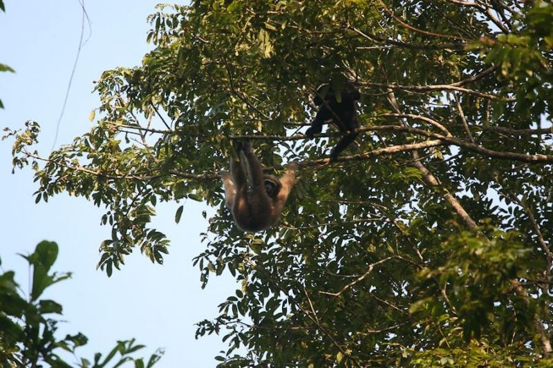 hollock gibbon, kaziranga, 2006