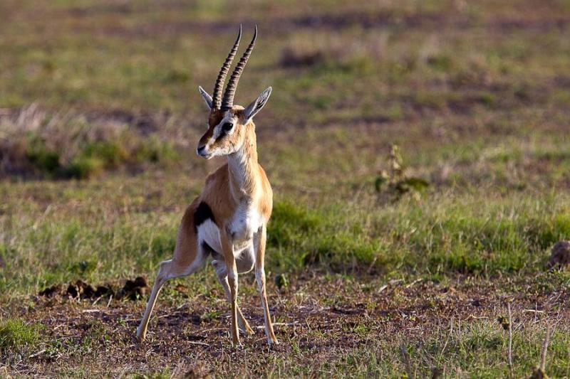 thompson gazelle, masai mara, 2009