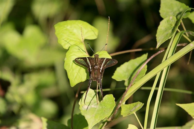 moth, borneo, 2007