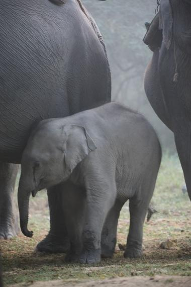 baby elephant, kaziranga, 2006