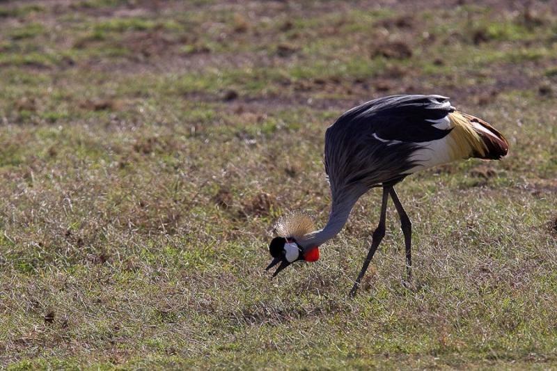 crown crane, amboseli, kenya, 2009