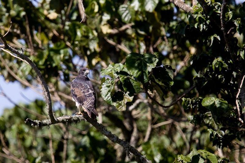 snake eagle, aberdare, kenya, 2009