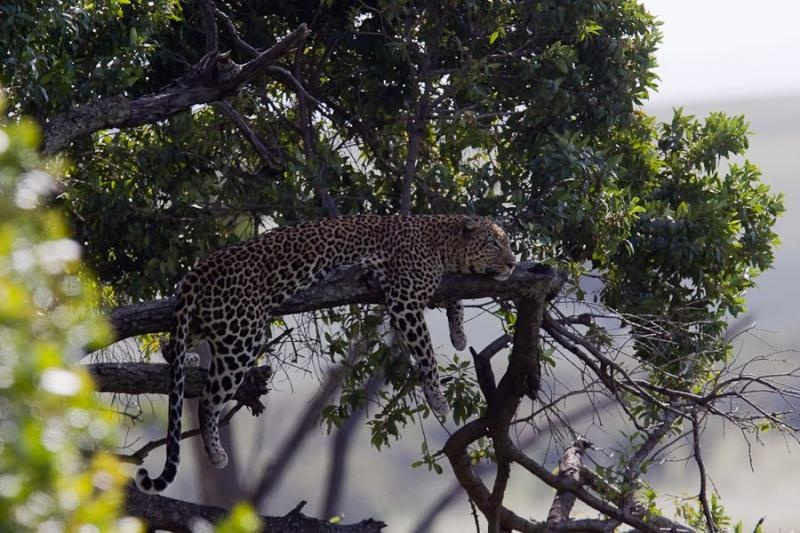 resting leopard, masai mara, 2009