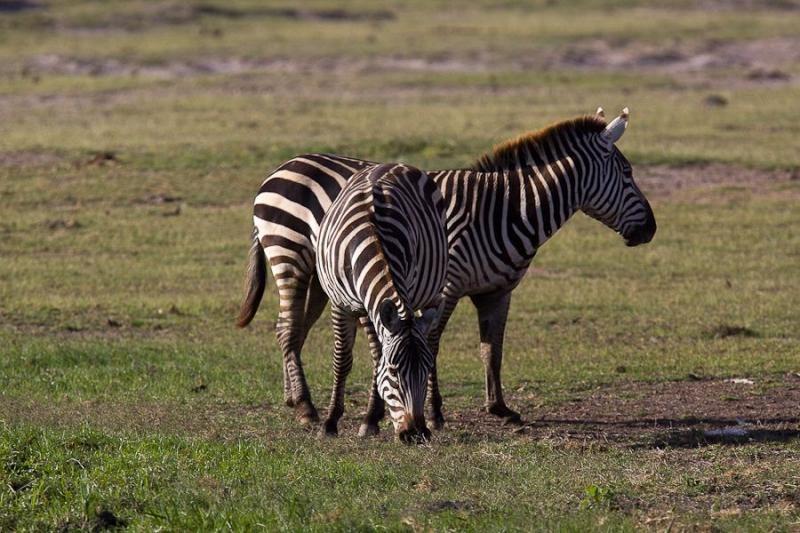 zebras, amboslei, 2009