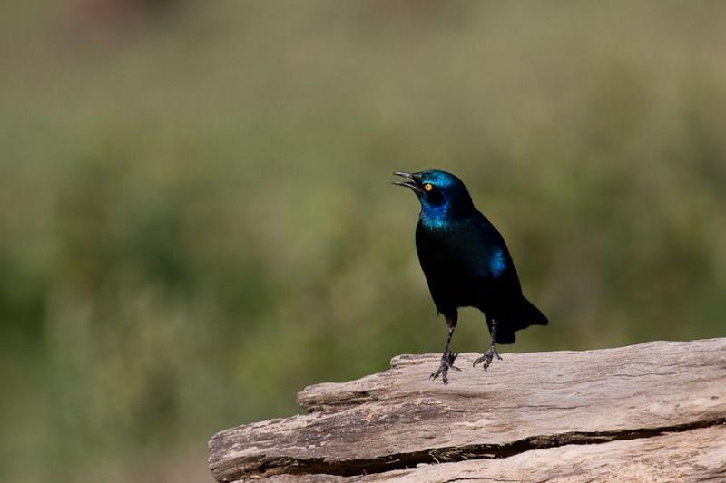 starling, tsavo, kenya, 2009