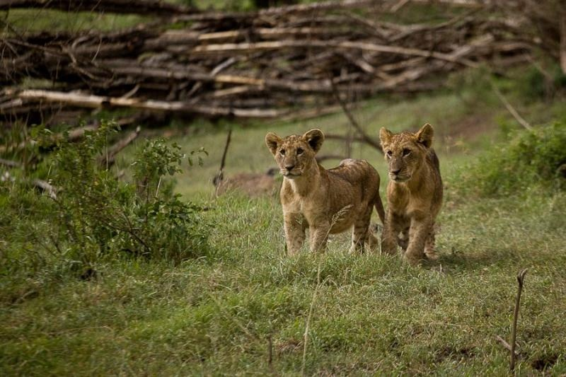 lion cubs, lake nakru, kenya, 2009