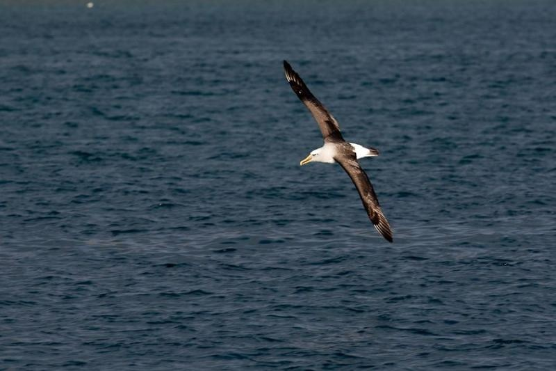 northern royal albatross, otago, new zealand, 2010