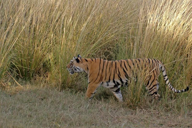 tiger, ranthambore, 2007