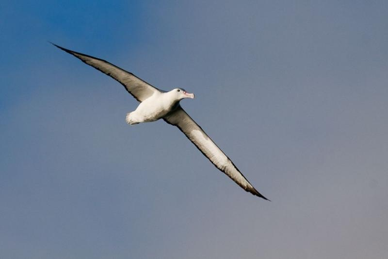 southern royal albatross, otago, new zealand, 2010