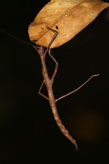 stick insect, borneo, 2007