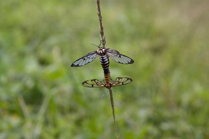 mating dragonflies, mizoram, 2010