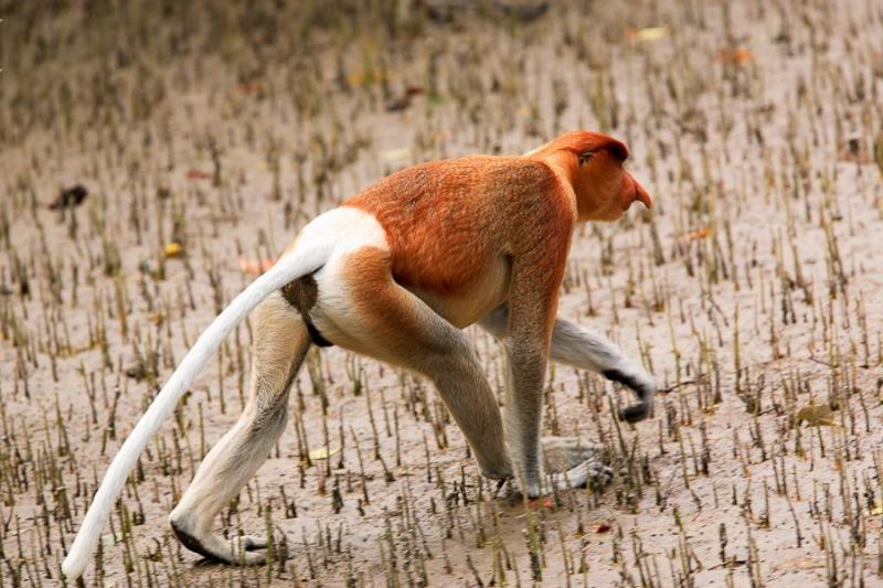 proboscis monkey, borneo, 2007