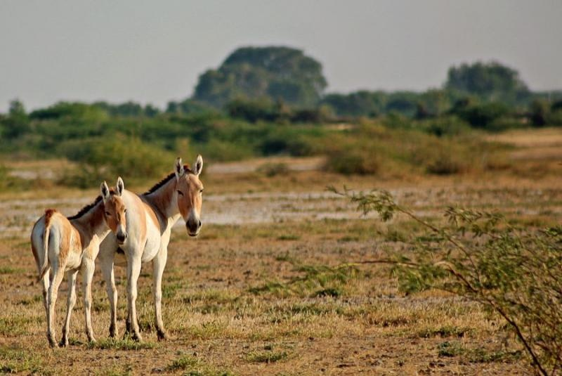 asiatic wild ass, kutch, 2007