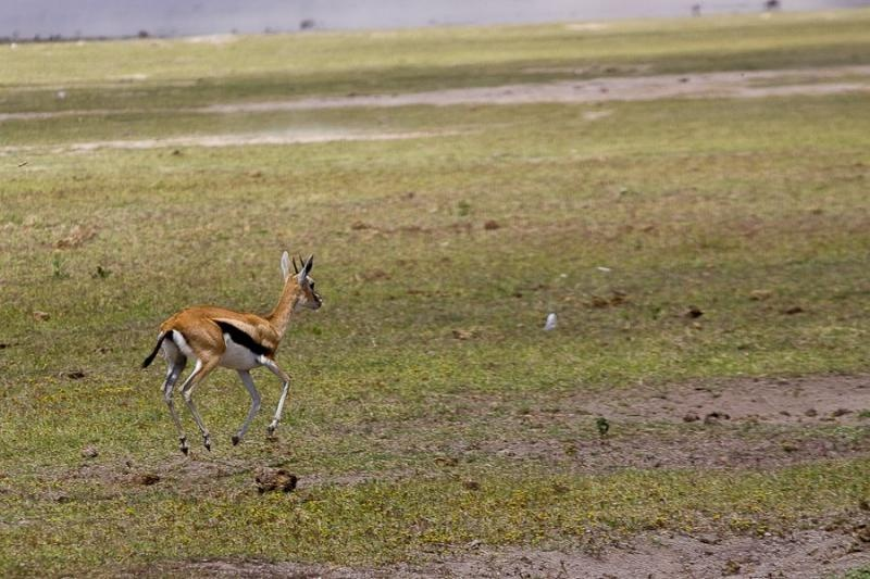 thompson's gazelle, masai mara, 2009