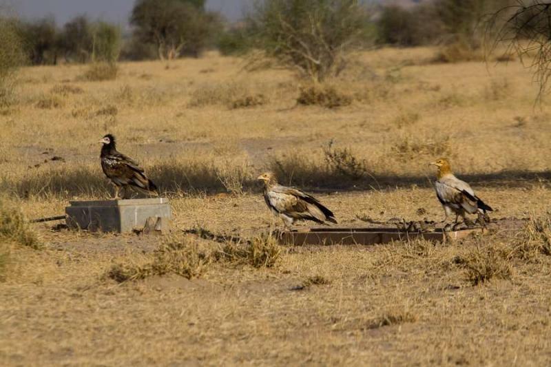 vultures, jaisalmer, 2010