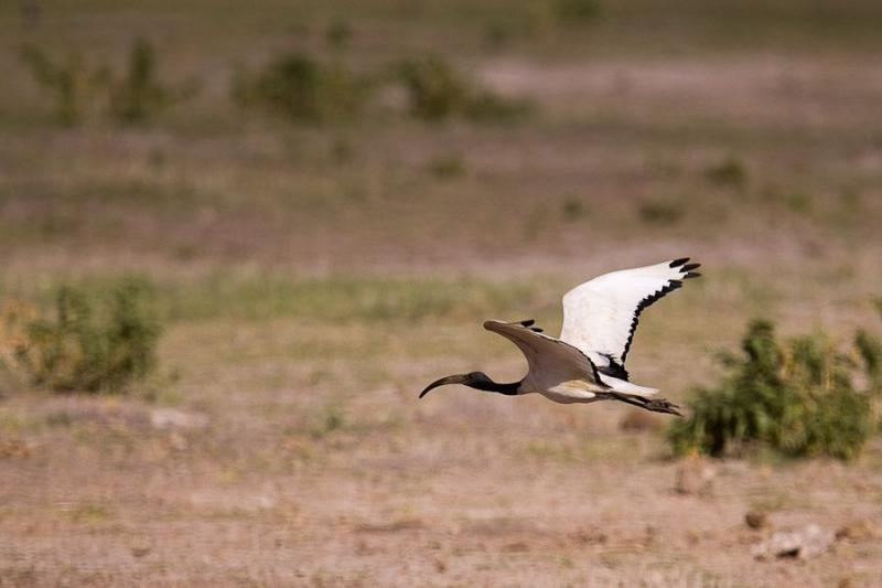ibis, amboslei, kenya, 2009