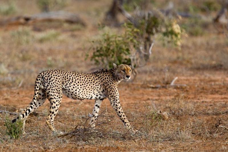 cheetah, tsavo, kenya, 2009
