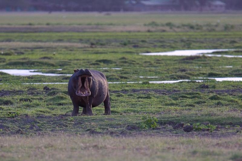 hippo, amboseli, kenya, 2009