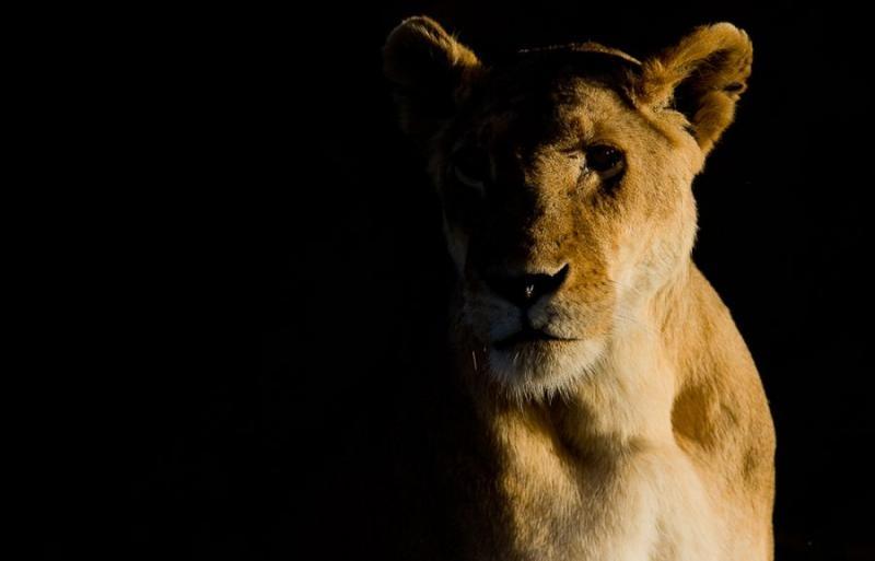 lioness portrait, masai mara, 2009