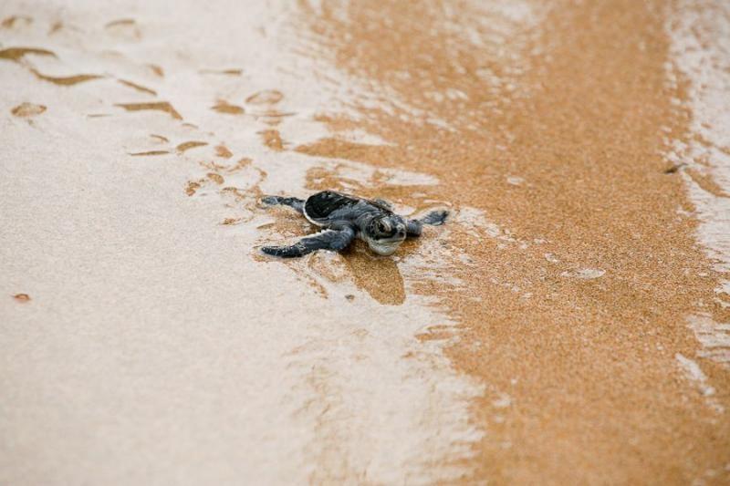 baby turtle, borneo, 2007