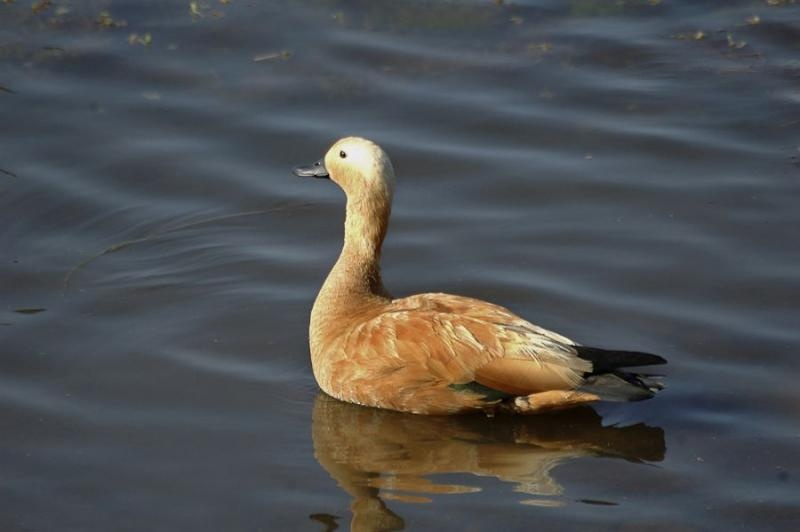 brahminy duck, ranthambore, 2007