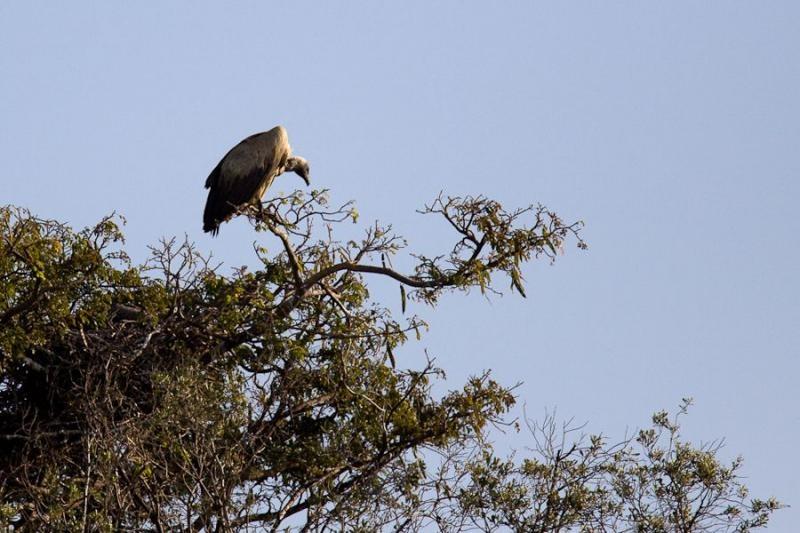 griffon vulture, masai mara, 2009