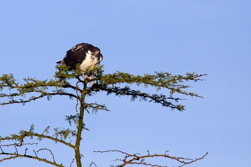 hawk eagle, lake nakru, 2009
