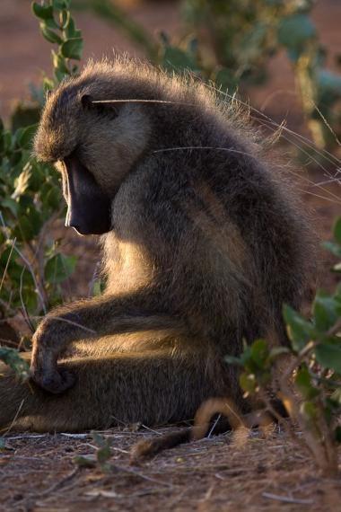 baboon, tsavo, kenya, 2009