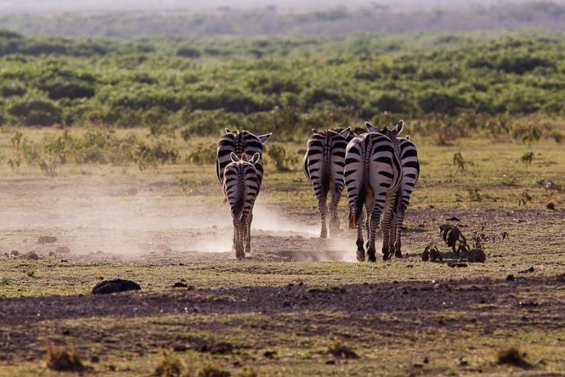 zebras, masai mara, 2009