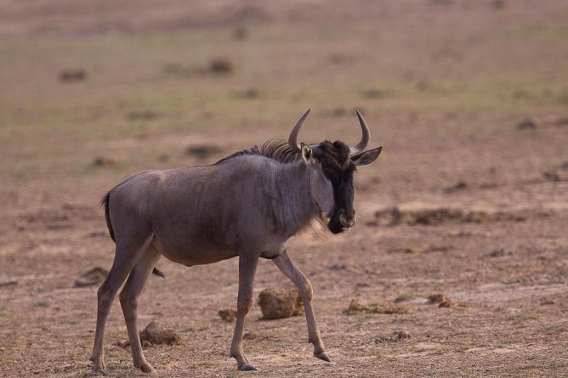 wildebeest, masai mara, 2009