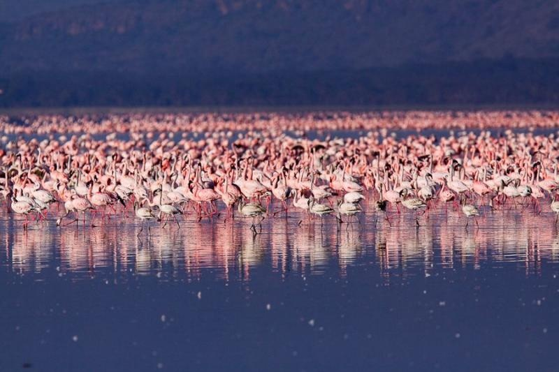 flamingoes, lake nakru, kenya, 2009