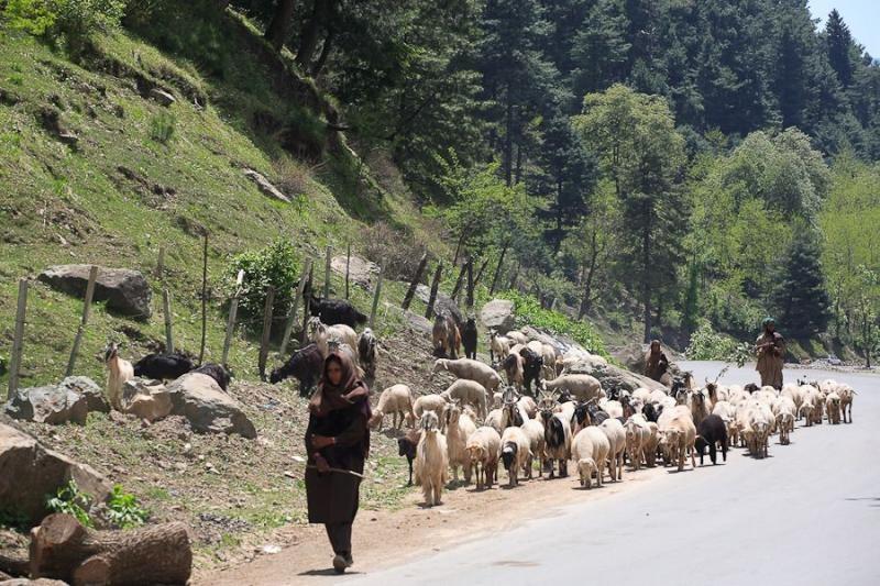 shepherdess, sonamarg, 2007