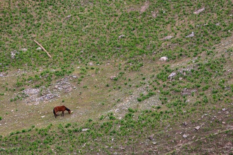 grazing horse, sonamarg, 2007