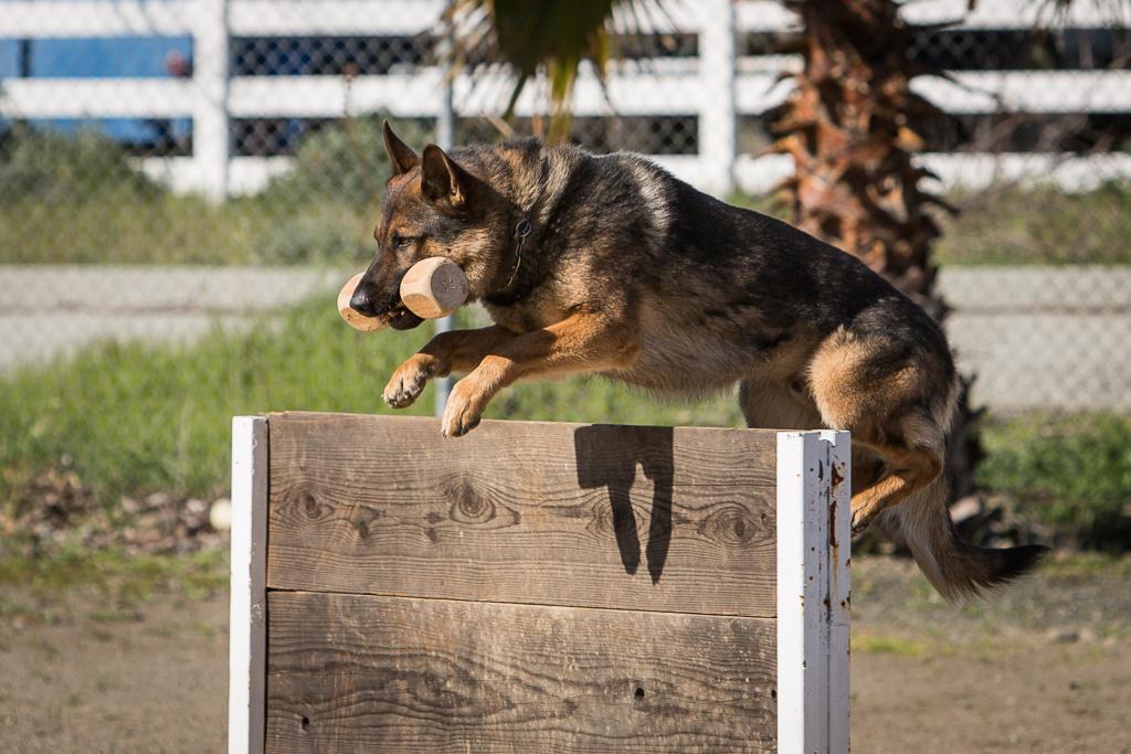 Schutzhund/IPO Trial - San Jose German Shepherd Dog Club