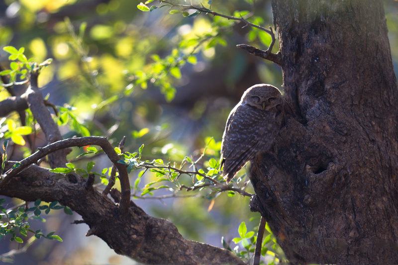 owlet, sariska 2012