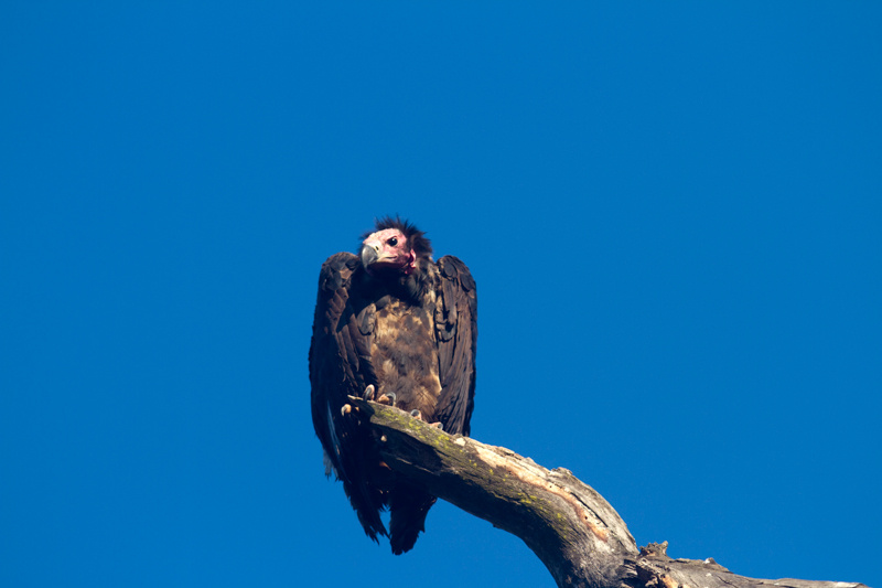 vulture, corbett 2012