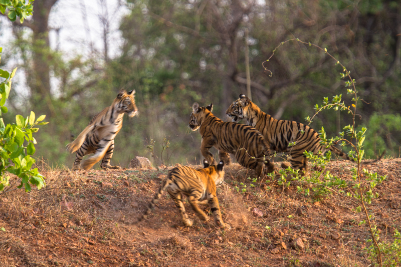 tiger cubs, tadoba 2012