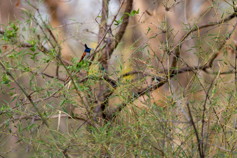 flycatcher, tadoba 2012