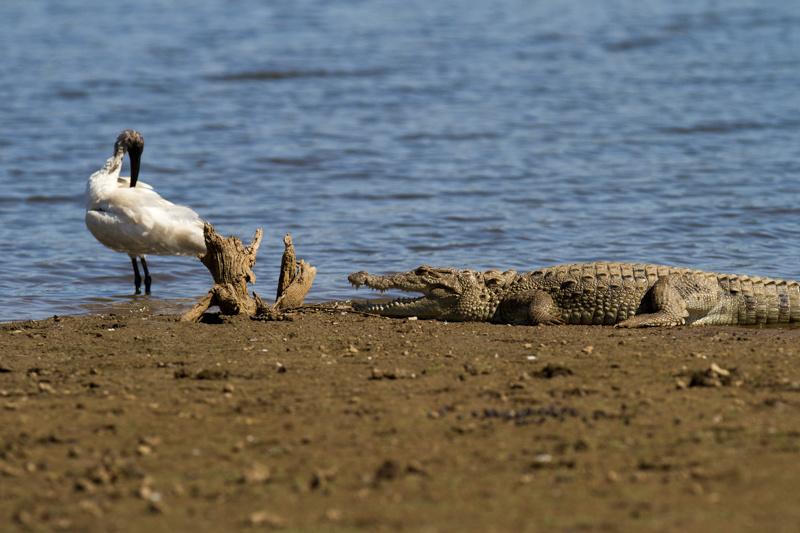 ibis and alligator, sariska 2012