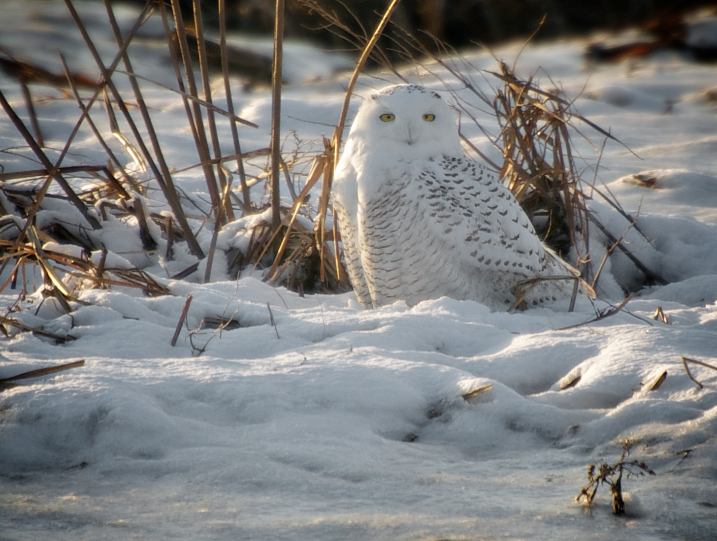 Sitting Pretty (Snowy Owl)