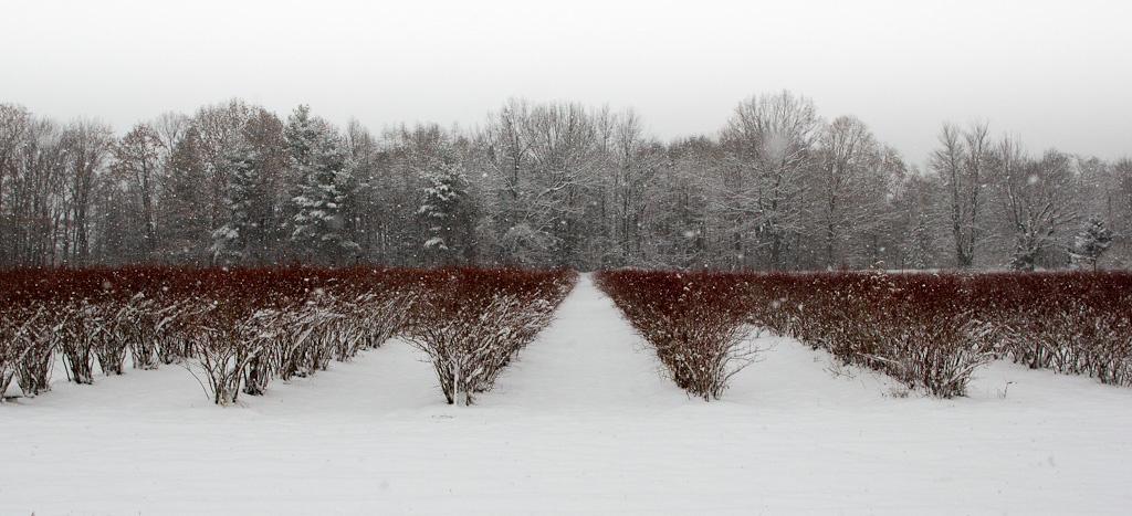 Blueberry Field in Winter