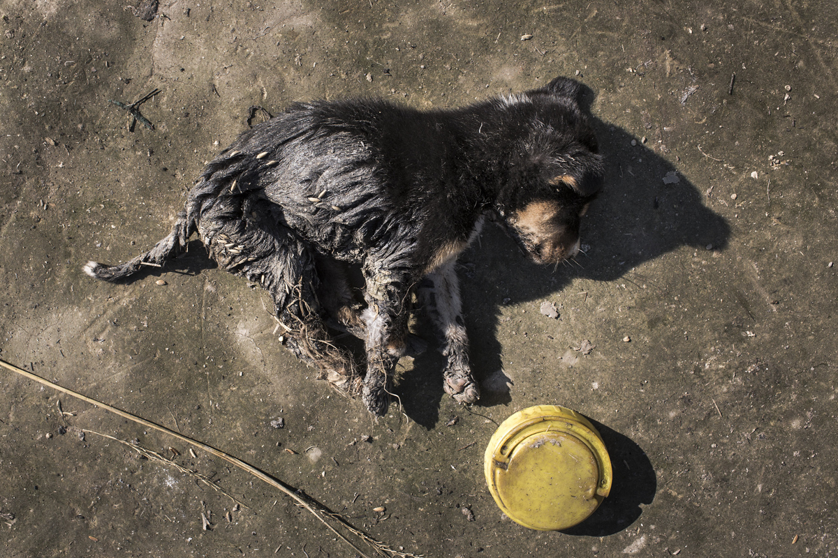 A puppy, barely a few month old, breathes his last, unable to survive the burn injuries in Nilanjahara village, Kokrajhar. The other four puppies from the same litter did not survive the fire either.
