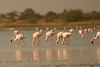 Flamingoes in Little Rann of Kutchh, Gujarat