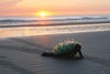 Darwin's Nightmare: The Plight of the Bottle Back Turtles