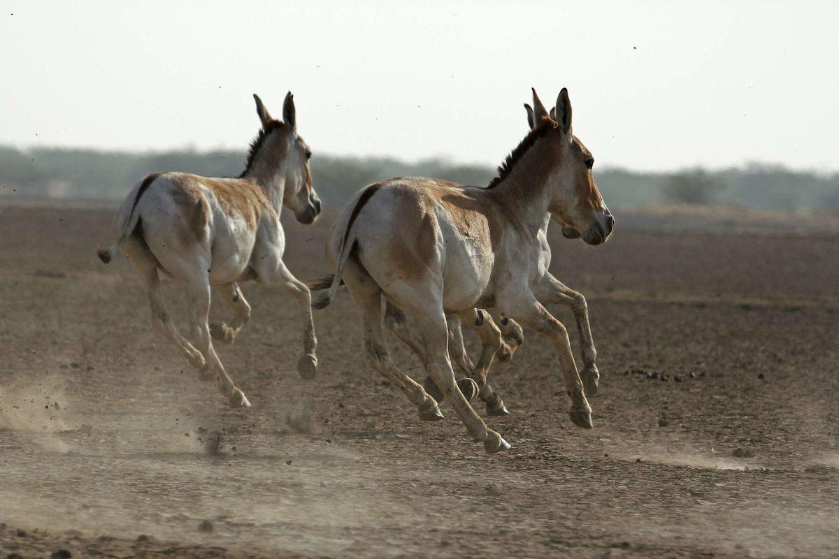 Wild asses in Little Rann of Kutchh, Gujarat