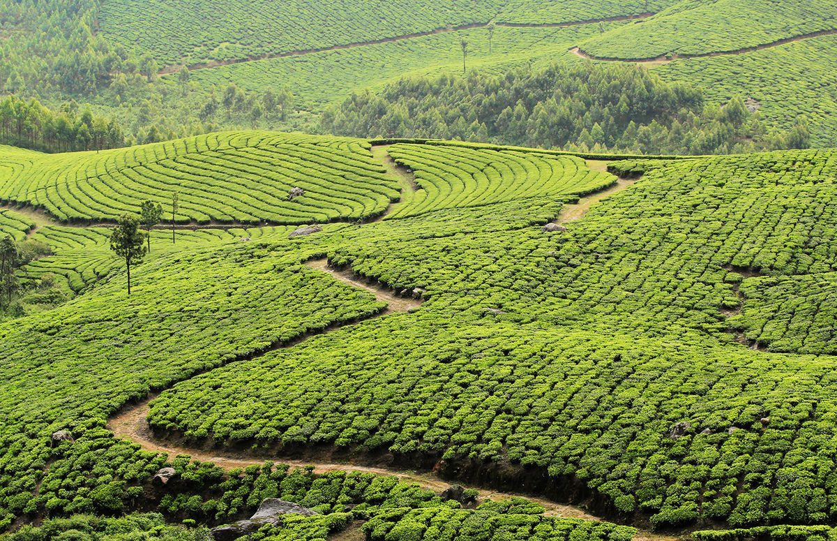 Tea Estates of Munnar, Kerala